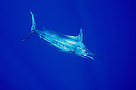 Blue Marlin, Makaira nigricans, off Kona Coast, Big Island, Hawaii, Pacific Ocean.
