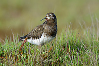 Black Turnstone (Arenaria melanocephala) giving alarm call. Yukon Delta National Wildlife Refuge, Alaska. July.