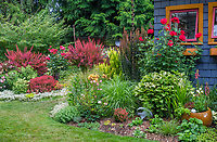 Vashon-Maury Island, WA: Summer perennial garden and with colorful shed featuring barberry 'Orange Rocket', Rosa 'Radcor' and Rosa 'Mister Lincoln', Persicaria 'Painters Palette', sedums and lilies