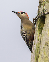 A male West Indian Woodpecker perches outside his nest cavity.