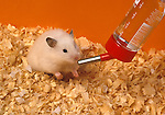 Hamster in cage base drinking from water bottle pet.United Kingdom....