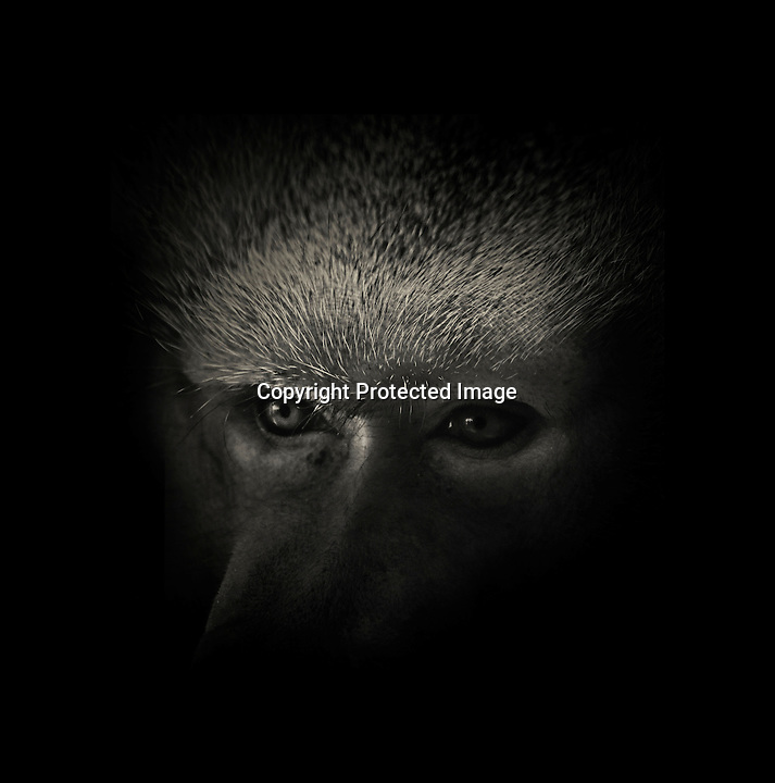 BNPS.co.uk (01202 558833)<br /> Pic: AlexTeuscher/BNPS<br /> <br /> ****Please use full byline****<br /> <br /> Hamadrayas baboon.<br /> <br /> These zoo animals take on an altogether more sinister look after posing for a set of moody black and white portraits.<br /> <br /> Alex Teuscher has brought out the dark side in a range of exotic creatures including tigers, rhinos and elephants with his artistic project which took two years to complete.<br /> <br /> More than 200 photographs were taken to get the perfect set, which was snapped at zoos in Singapore and Switzerland.<br /> <br /> Alex's subjects also include a baboon, a grey crown crane, a green tree python and a Malay fish owl.<br /> <br /> Amazingly Alex, 31, from Geneva, Switzerland, only got into photography three years ago when his father gave him an old SLR camera.