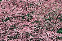 Huge hybrid pink dogwood tree in full bloom, Louisville, Kentucky.