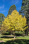 The bright yellow leaves of a maple tree in the Royal Botanical Gardens in Sydney, NSW, Austalia
