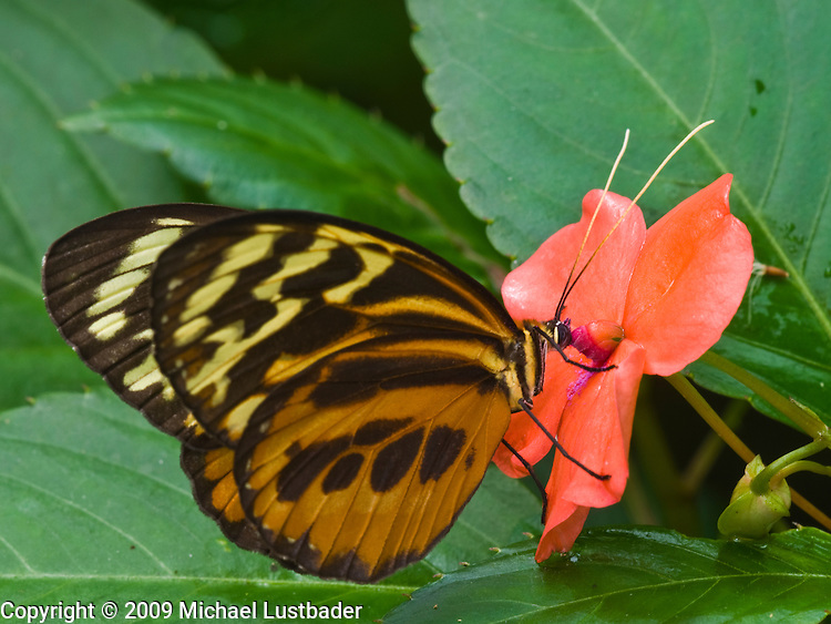 Ecuadorian rainforest butterfly