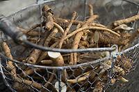 Wegwarte-Wurzel, Wegwarten-Wurzel, Wurzel, Wurzeln, Wurzelernte in einem Korb, Wurzeln von Wegwarte. Gemeine Wegwarte, Gewöhnliche Wegwarte, Zichorie, Cichorium intybus, Chicory, Common chicory, root, roots, La Chicorée sauvage, Chicorée amère, Chicorée commune, Chicorée intybe