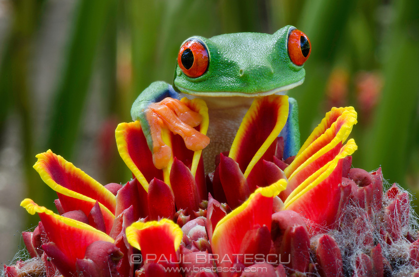 Red-eyed Tree Frog (Agalychnis callidryas, Costa Rica.