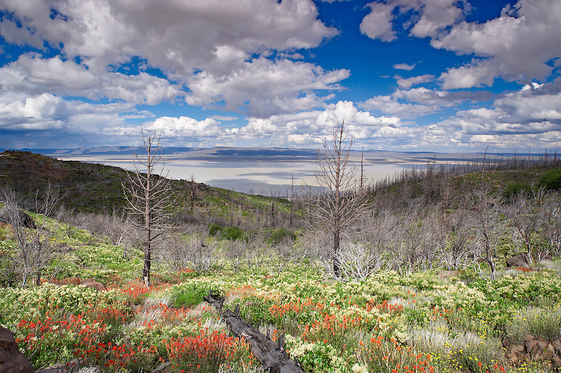 Wildflowers and burned manzanita bush with Summer Lake three years after wildfire. Mostly Ceonothus (snowbush) and Indian Paintbrush. Freemont National Forest. Oregon