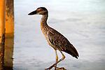 Heron, Exuma, Bahamas