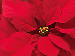 Closeup of Poinsettia - red Christmas flower leaves abstract background