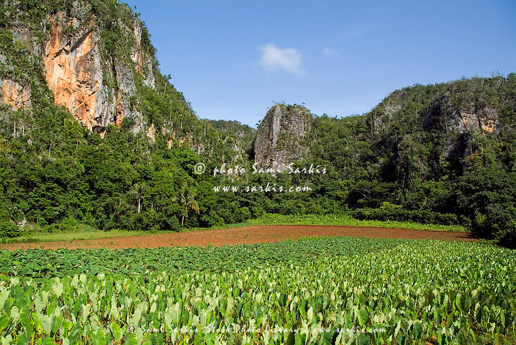 Field of lush crops with the Mogotes in the distance, Vinales Valley, Cuba.
