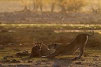 Etosha Lioness stretching her back