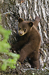 Young cinnamon black bear cub in a tree. Grand Teton National Park, Wyoming.