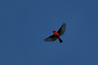 Vermillion Flycatcher in flight, Big Bend National Park