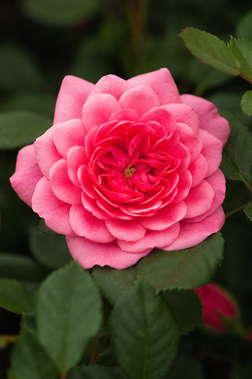 Rosa Letchworth Centenary ('Harjojo'), a compact shrub rose with pink flowers. From Harkness Roses.
