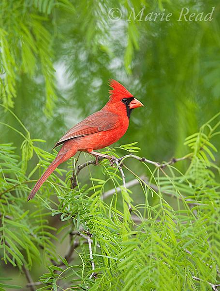 Northern Cardinal (Cardinalis cardinalis) male perched in mesquite, Rio Grande Valley, Texas, USA