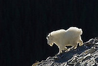 Mountain Goat (Oreamnos americanus) in Northern Rockies, fall.