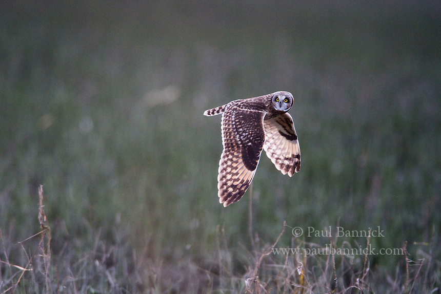 A Short-eared Owl, Asio flammeus, turns his head while flying in Skagit County, Washington.