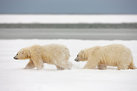 Young polar bear cubs run in the snow on a barrier Island, Arctic, Alaska.