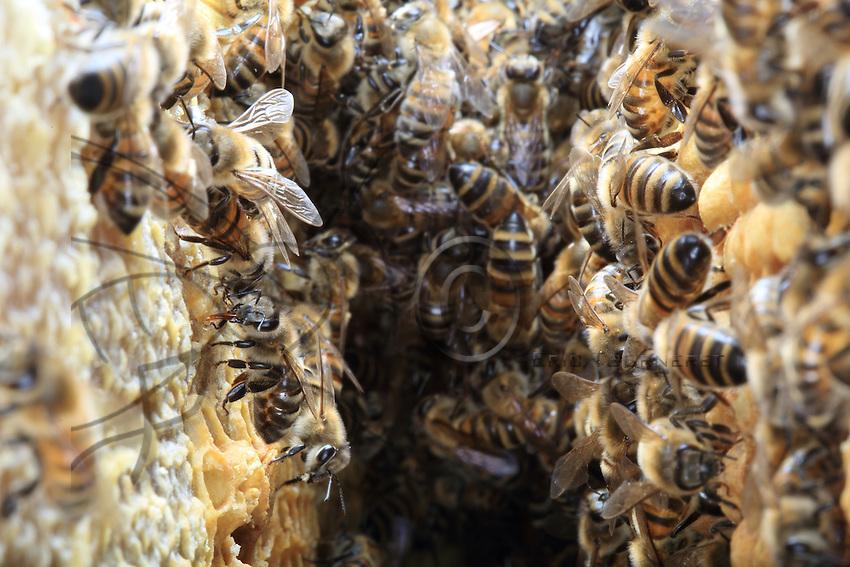 The bees come and go between two wax frames holding the reserves of  pollen and the breeding cells. The brood has to be maintained at a constant temperature of 33°C.///Entredeux cadre de cire avec des réserves de pollen et des cellules d'élevage les abeilles vont et viennent. Le couvain doit être maintenu à une température constante de 33 °.