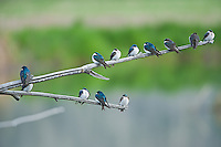 Tree Swallows perched in Oregon