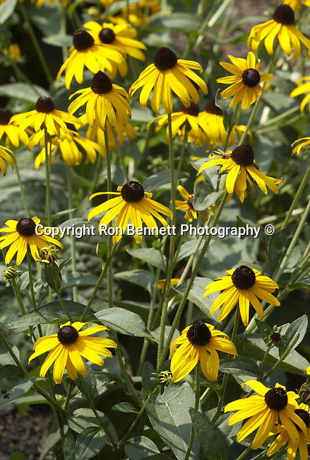 Black-eyed Susan grow 1 to 3 feet also known as gloriosa daisy is a yellow to orange annual flower,