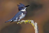 Belted Kingfisher - Megaceryle alcyon - Immature