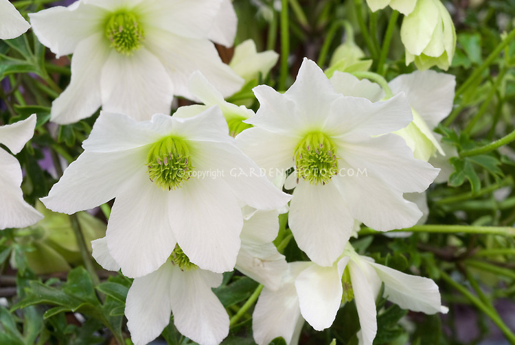 Clematis Early Sensation Fof White Flowering Climbing Vine