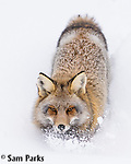 Red fox (cross) in deep snow. Grand Teton National Park, Wyoming.