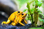 The frog Phyllobates terribilis is one of 7 marvels in the world