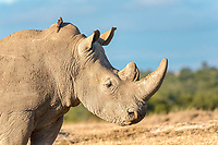 White Rhinoceros (Ceratotherium simum), portrait, Ol Pejeta Reserve, Kenya, Africa