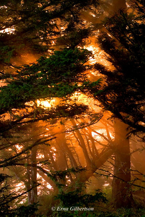 Sunset blast thru forest at the edge of the Continent at the Pacific Ocean.