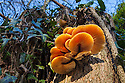 Velvet Shank / Winter Fungus {Flammulina velutipes}, growing on dead tree stump. Peak District National Park, UK. November.
