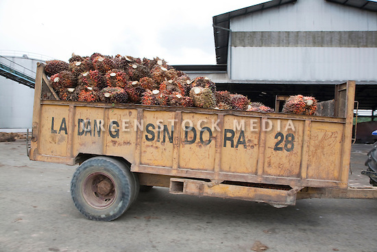 A load of oil palm fresh fruit bunches (FFBs) in a cart heading to the mill for processing. The Sindora Palm Oil Mill, owned by Kulim, is green certified by the Roundtable on Sustainable Palm Oil (RSPO) for its environmental, economic, and socially sustainable practices. Johor Bahru, Malaysia