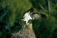 Osprey landing near nest, Florida Keys. Florida Keys, Florida.