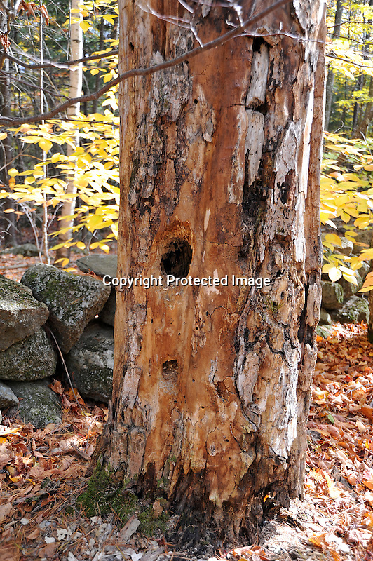 Dead Tree with Wildlife Dug Shelter Holes in Hancock, New Hampshire USA