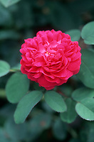 Rosa 'de Rescht' damask type rose, rediscovered in Persia, red pink