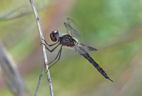 388520005 a wild male black saddlebags tramea lacerta perches on a stick along a canal off jean leblanc road near bishop inyo county california united states