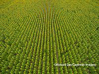 63801-11403 Sunflower field-aerial Jasper Co.  IL