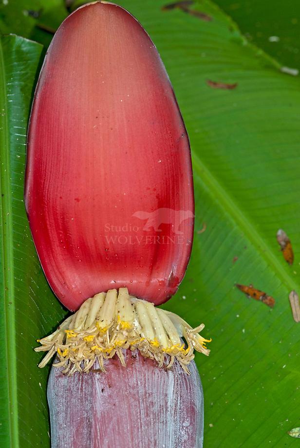 Banaan (Musa spec.) bloeiwijze