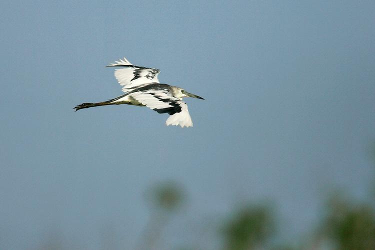 Little Blue Heron - Egretta caeruleaImmature<br /> Galveston Co., TX<br /> June 2005