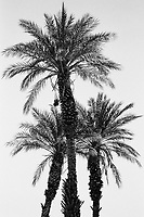 Death Valley, Spring 2018, Date Palm Tree 35mm Film
