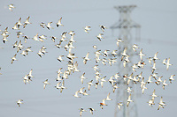 Flock of Marsh Sandpipers (Tringa stagnatilis). Bohai Bay, China. May.