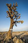 Roadside memorial at a joshua tree along old SR 58 west of Boron, Calif.