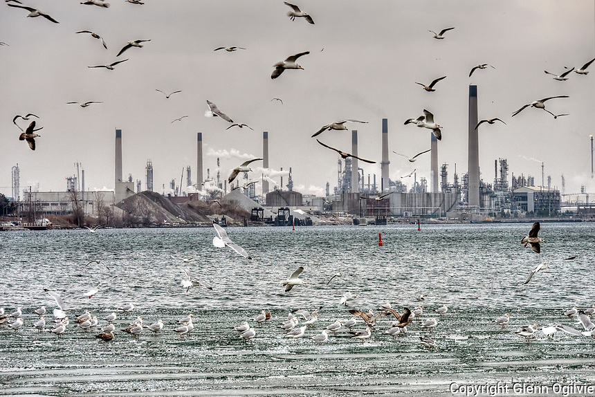 A flock of seagulls hovers over the practically ice free Sarnia Bay