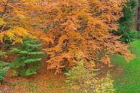ORPTH_121 - USA, Oregon, Portland, Hoyt Arboretum, Autumn color of American beech trees (Fagus grandifolia).