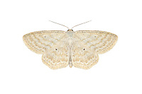 70.025 (1692)<br /> Lesser Cream wave - Scopula immutata