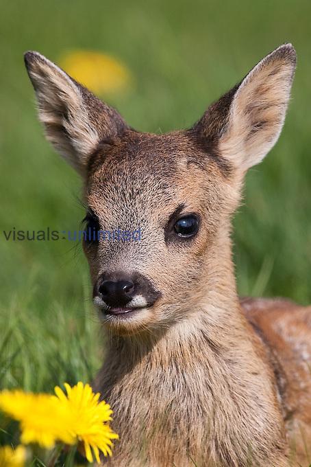 Western Roe Deer fawn (Capreolus capreolus), Normandy, France.