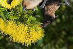 Spectacled flying fox (Pteropus conspicillatus) feeding on nectar from flowers of the golden penda (Xanthostemon chrysanthus). Captive in bat hospital.