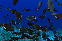 Black triggerfish, Melichthys niger, are often found in large schools over reef areas.  They are also known as black durgon.  Hawaii.